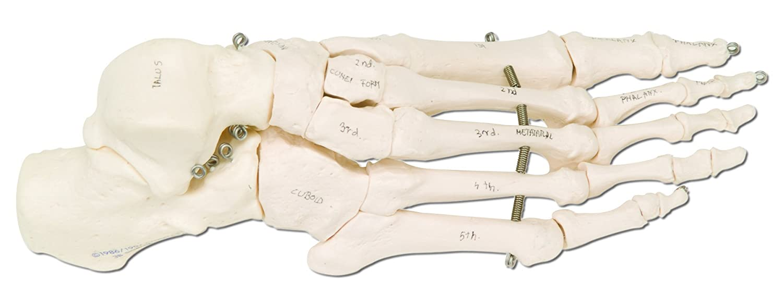 3B Scientific A30/1L Echthaar linken Fuß Skelett mit Knochen Namen ...