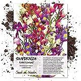 Seed Needs, Spurred Snapdragon Fairy Mixture (Linaria maroccana) 3,000 Seeds