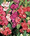 100 Mixed Impatiens Balsam Balsamina Touch Me Not Seeds