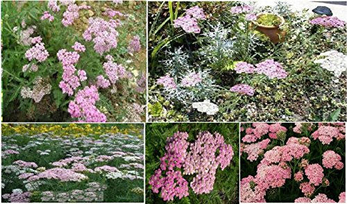 - Portal Cool Pink Achilleas Yarrow Apple Blossom Perennial Flower Over 100 Seeds