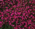 Dianthus Deltoides 3 Plants!