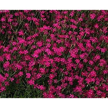 f6b32ea6dc7e Amazon.com   Dianthus Deltoides