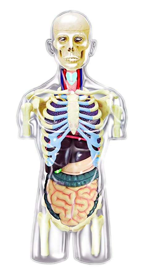Amazon.com: 4D Master Transparent Human Anatomy Torso Model Kit, One ...