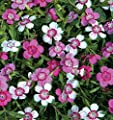 Micro Chips Pinks Dianthus - 80 Seeds - Perennial