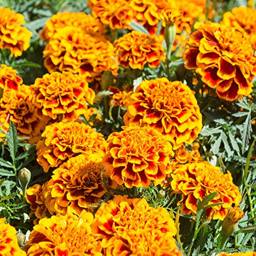 French Marigold Flower Garden Seeds - Hero Series - Flame - 1000 Seeds - Annual Flower Gardening Seeds - Tagetes patula by Mountain Valley Seed Company