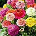 David's Garden Seeds Flower Zinnia Scabiosa RA6215 (Multi) 500 Open Pollinated Seeds