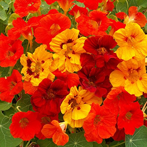 - Outsidepride Nasturtium Flower Seed Mix - 1/4 LB