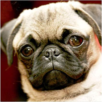5D Diamond Painting Pug Puppies and Red Flowers Kit