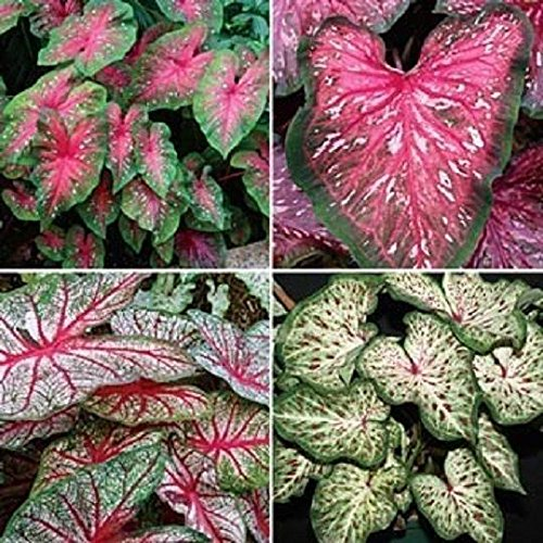 Caladium Tropical Mix,(6 Bulbs) Thrives in Heat and Humidity