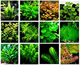 50 (stems) Live Aquarium Plants / 12 Different Kinds - Java Fern, Hygrophila, Rotala, Ammania, Egeria, Cryptocoryne, Bacopa, Cabomba and more! Great plant sampler for 20-30 gal. tanks!
