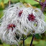 CLEMATIS VITALBA, Old man's beard 20, 200 or 2000 seeds