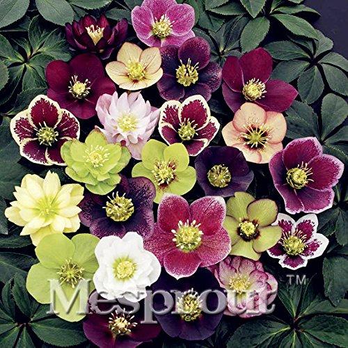 Novelty Plant 100PCS Hellebore (Christmas Rose)Helleborus niger seed bonsai flower plant home (Hellebore Plant)