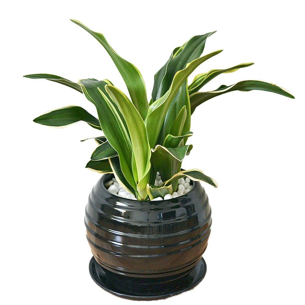 観葉植物 万年青(オモト) 甲竜 ボール型陶器鉢植え B01HUVZU4M ブラック