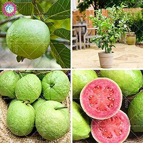 30pcs Semillas de guayaba Psidium guajava Semillas Semillas de frutas perennes Tropics Semillas para Home mini jardín Ing