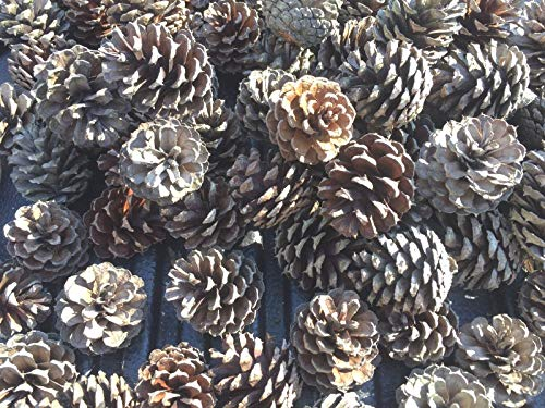 HIGH Germination Seeds:40 Pine Cones Medium Size for Crafts and Art Projects-Home Deco-Wreaths