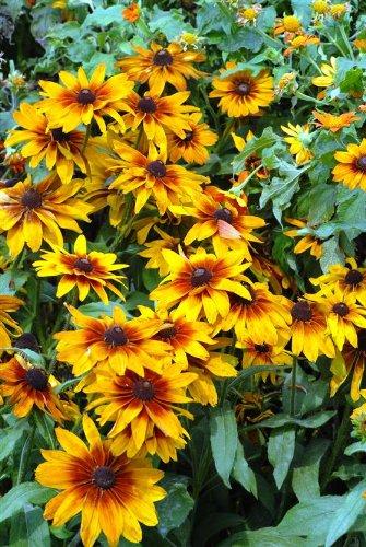 "RUDBECKIA-Autumn Colors Mix ""Gloriosa Daisy"" 50+Perennial Seeds"