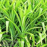 Pandanus amaryllifolius Live Plant Screwpine, Pandan, Rampeh, Screw Pine, Ketaki