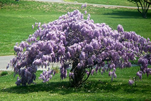 Blue Wisteria (Chinese)-Healthy 2 1/2'' Potted Shrub/Vine/Tree - 6 Pack by Grower's Solution