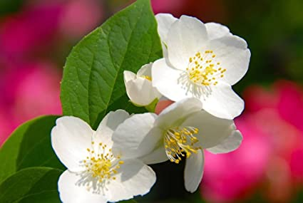 Amazon four petals white flowers natural scenery art print four petals white flowers natural scenery art print canvas poster28x42inch mightylinksfo