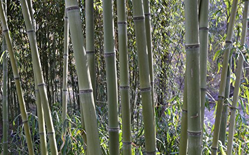 Incense Bamboo Phyllostachys Atrovaginata (2 Gallon 2-3 feet Tall) by Lewis Bamboo (Image #3)