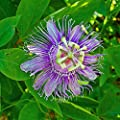 Hardy Passionflower Seeds (Passiflora incarnata) 5+ Medicinal Herb Seeds in FROZEN SEED CAPSULES for the Gardener & Rare Seeds Collector - Plant Seeds Now or Save Seeds for Years