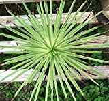 Agave stricta 'Nana' - Well Rooted Succulent - Miniature Dwarf Agave Plant RARE