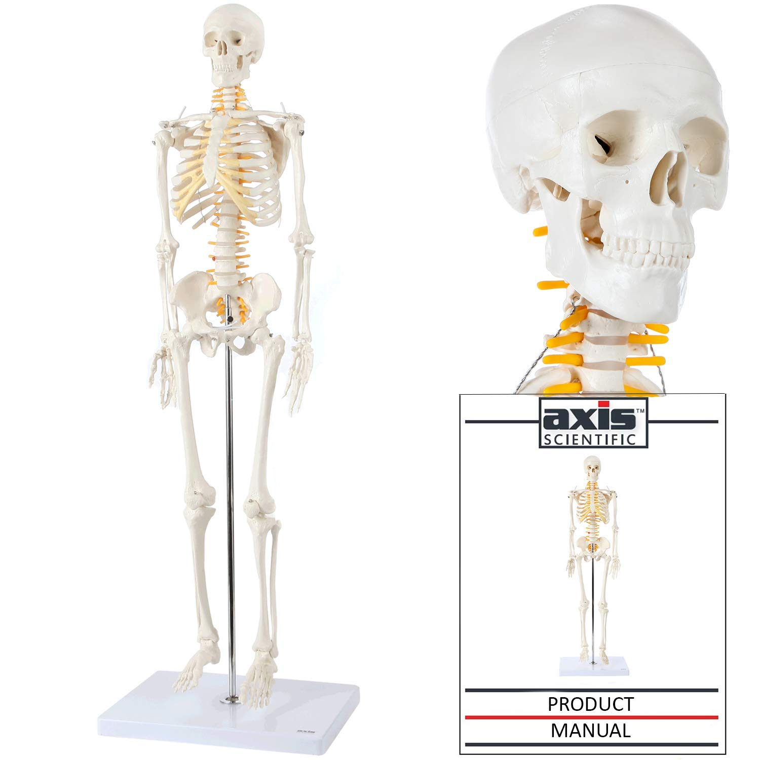 """Axis Scientific Mini Human Skeleton Model with Metal Stand, 31"""" Tall with Removable Arms and Legs, Easy to Assemble, Includes Detailed Product Manual for Study and Reference, Worry Free 3 Year Warranty"""