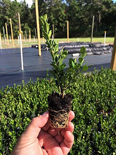 Winter Gem Boxwood - 60 Live Plants - 2'' Pot Size - Buxus Microphylla Japonica - Fast Growing Cold Hardy Formal Evergreen Shrub by Florida Foliage (Image #1)