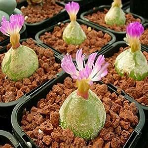 easyshop 40pcs Conophytum Burgeri Seeds Succulent Plants Potting