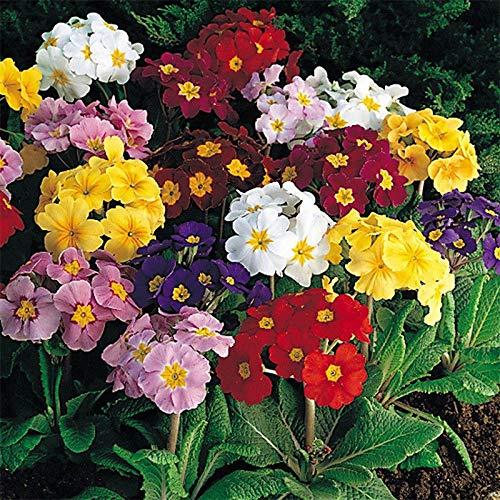 Portal Cool Flower Polyanthus Crown Exhibition Strain Mixed  250 Flower Seeds #4396