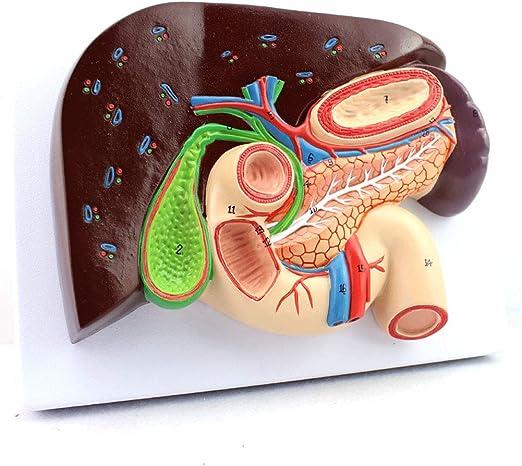 LTLGHY Modelo De Anatomía De Órganos Humanos - Modelo De Sección ...