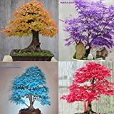 30X Japanese Maple Tree Bonsai Seeds Acer Palmatum Atropurpureum Plant Garden