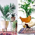 Qenci 100pcs Butterfly Palm Seeds Indoor Plants Home Balcony Decoration Bonsai Trees