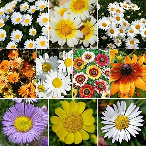 Daisy Crazy - Daisy Flower Seed Mix - 1/4 Pound, Mixed