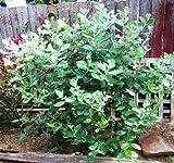 500 Pineapple Guava Tree Seeds, Feijoa Sellowiana