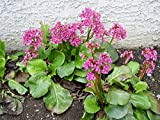 Heartleaf Bergenia aka Bergenia cordifolia 'Red Beauty' Live Plant Fit 1 Gallon Pot