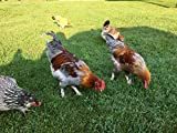 12 Fertile Bantam hatching chicken eggs variety color