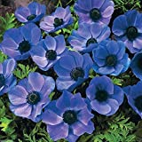 100 Anemone coronaria 'Mr Fokker' Windflower, Poppy Anemone Hardy ~Ready to Ship