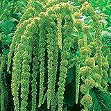 Burpee Love Lies Bleeding (Green) Amaranthus Seeds 200 seeds