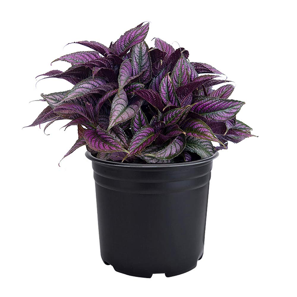 AMERICAN PLANT EXCHANGE Persian Shield Stunning Ornimental Houseplant Live Plants, 6'' Pot, Exotic and Intense Neon Purple by AMERICAN PLANT EXCHANGE