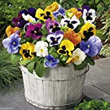 100 Seeds Pansy Seeds - St. Ravel Mix - No Garden Is Complete Without Pansy - Biennial