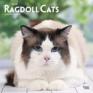 Ragdoll Cats 2019 Kalendarwandquadratisch 30 X 30 Cm Versiegelt