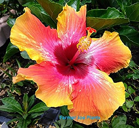 Amazon com : Hibiscus - Fiesta - 1 Plants - Quart Pot