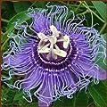 Passiflora - Incense Inspiration - Passion Flower - Blue - 1 Plant -quart Pot
