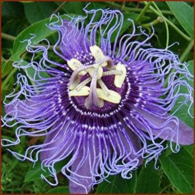 Passiflora - Incense Inspiration - Passion Flower - Blue - 1 Plant -quart Pot