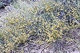 10 Seeds of Ephedra nevadensis Seeds - Nevada Ephedra - Mormon Tea