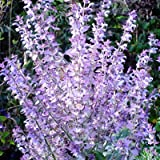 Clary Sage (Salvia Sclarea L.) Herbal Plant Heirloom,120 Seeds