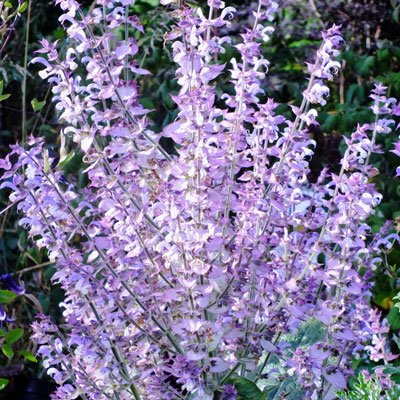 Clary Sage Seeds - Clary Sage (Salvia Sclarea L.) Herbal Plant Heirloom,120 Seeds