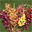 Package of 2,000 Seeds, Tetra Mixed Snapdragon (Antirrhinum majus) Non-GMO Seeds by Seed Needs