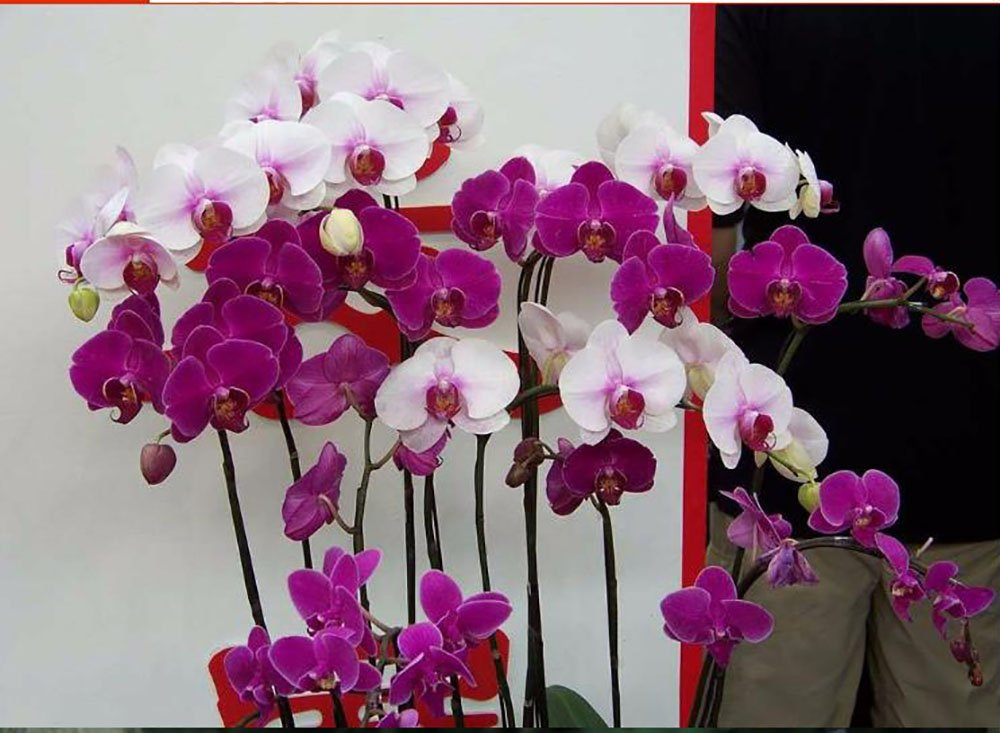 The Best Seller 100 seeds Perennial Phalaenopsis Orchid Flower Seeds ,Rare Butterfly Orchid Seeds. by POLPAT